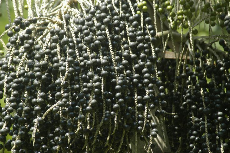 Acai Berries - Nutrition And Health Benefits