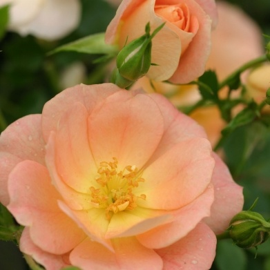 Oso Simple Squishy Banana : Landscape Rose  Oso Easy Peachy cream  - Abundant soft peach summer flowers are self cleaning ...