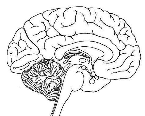 رائع شرح جسم الإنسان للطفل الهيكل العظمى و القفص الصدرى و المخ و الجهاز الهضمى بالصور والفيديو Brain Anatomy Brain Diagram Human Brain Diagram