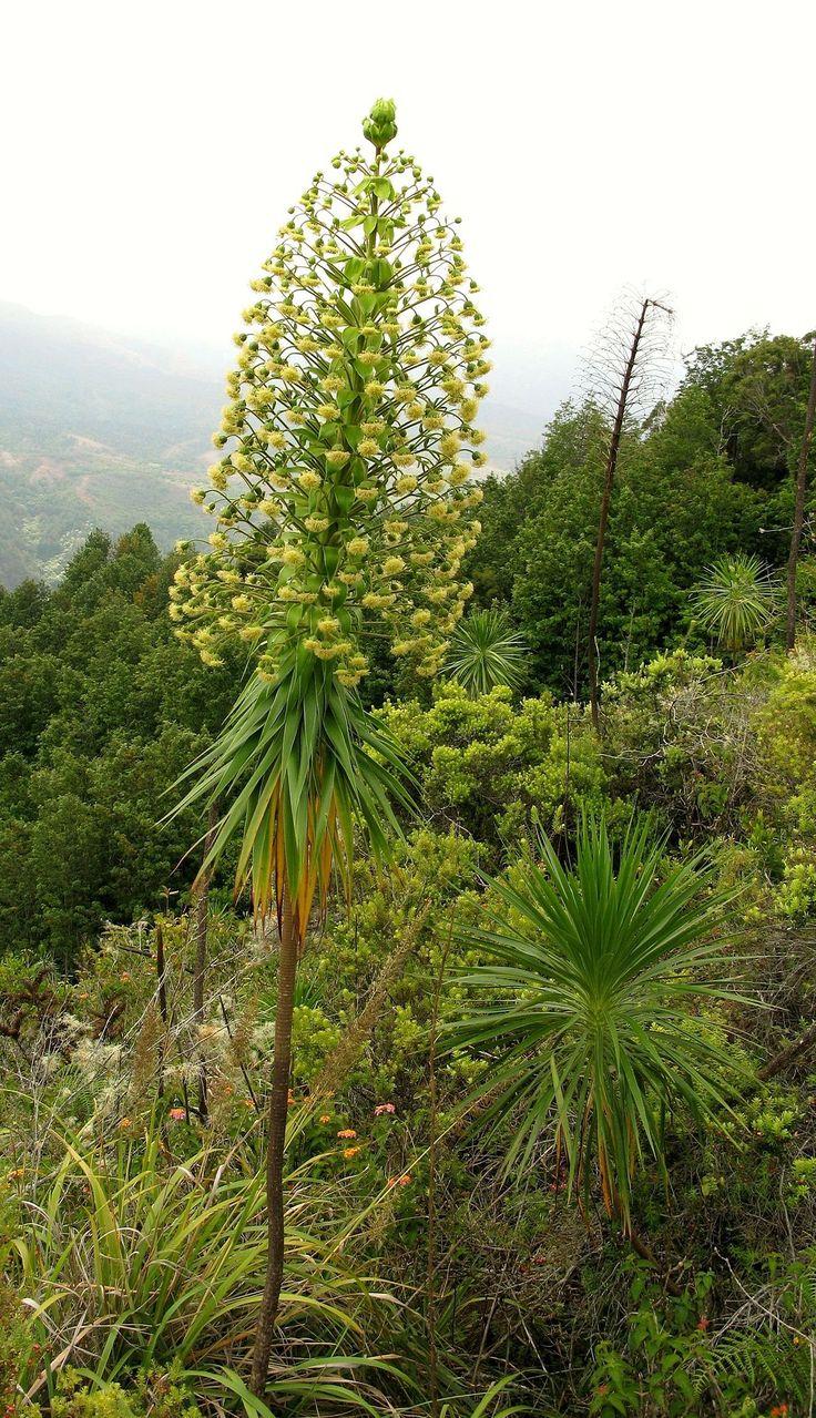 Iliau (Wilkesia gymnoxiphium) in 2020 Endangered plants