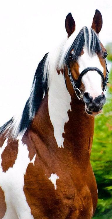 Absolutely stunning!  Anyone know of a Warmblood Pinto Stallion I could borrow… beautiful horses