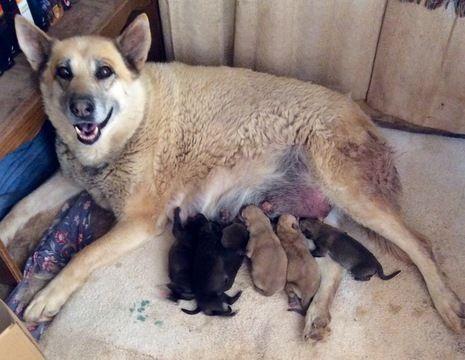 Wolf Hybrid puppy for sale in HESPERUS, CO. ADN-49947 on PuppyFinder.com Gender: Male. Age: Under 1 Week Old