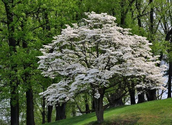 Flowering Dogwood Tree Cornus Floridus Beautiful Landscape Spring Flowers Winter Berries Attract Songbirds Hardy Drought Tolerant Dogwood Trees White Flowering Trees Deciduous Trees