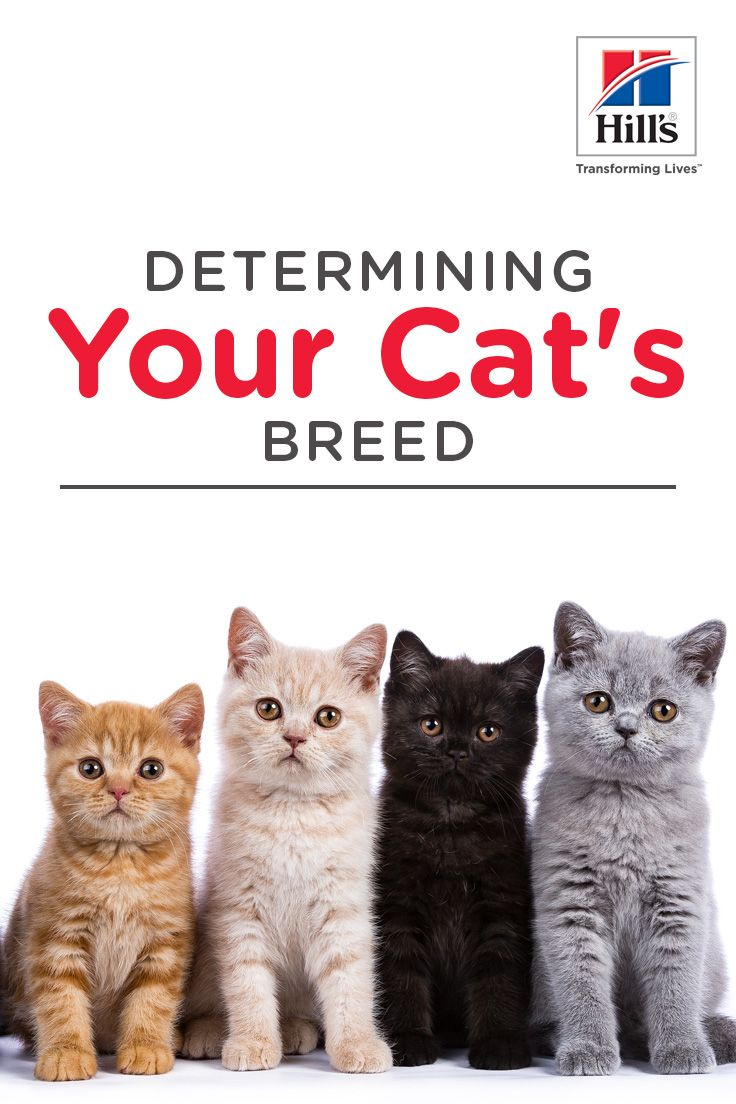 What Breed Is My Cat Hill S Pet In 2020 Cats Cat Breeds Cat Care