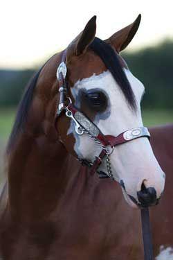 McCook Show Horses~Quality Paint Horses For Sale