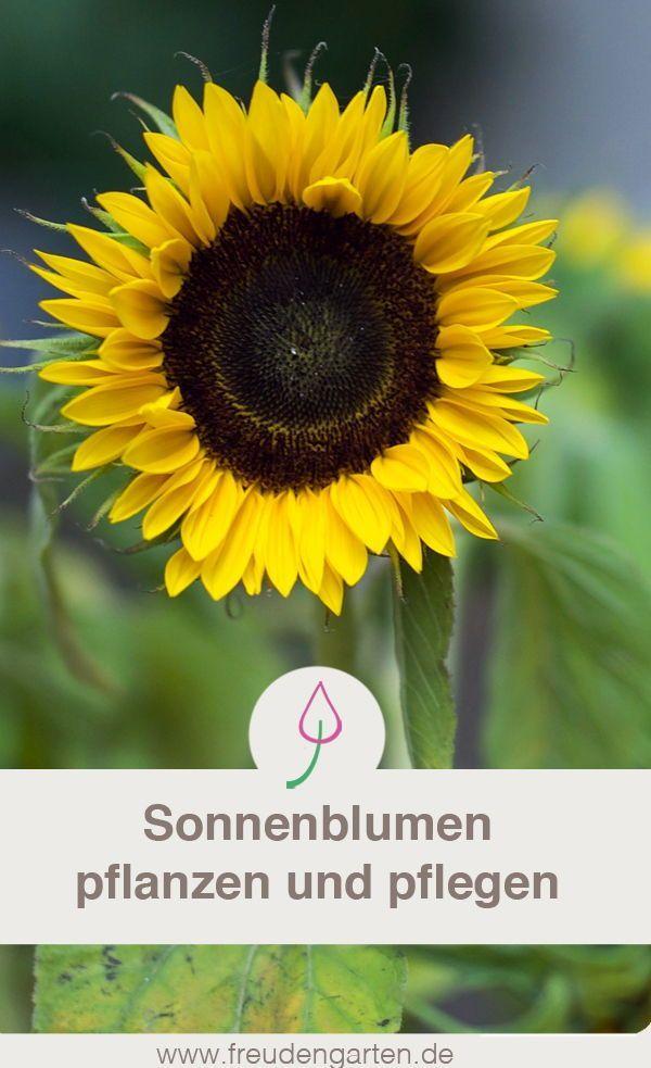 Sonnenblumen pflanzen: Tipps, wie bei im Garten ri…