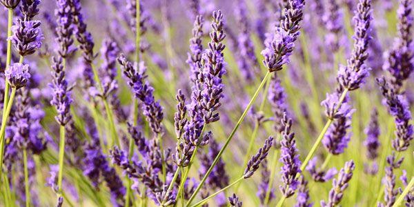 Lav dine egne lavendel planter. se her hvor let du kan tage ...