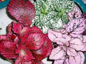 Plantas de interior Hipoestes  También llamada hoja de sangre, necesita buena luz y estar cerca de una ventana. Los riegos deberían ser bastante seguidos, en un ambiente que sea lo más húmedo posible, hay que pulverizar de 1 a 2 veces durante el día, con el tiempo poco a poco agarra un aspecto desgarbado