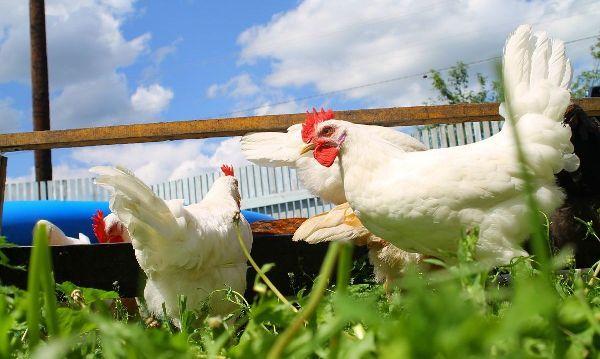 Леггорн и русская белая курица