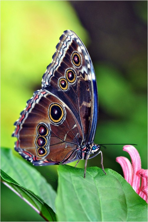 Morpho on a Leaf ... this is the GORGEOUS BLUE one I love with its wings closed, you'd never guess it was so beautiful !