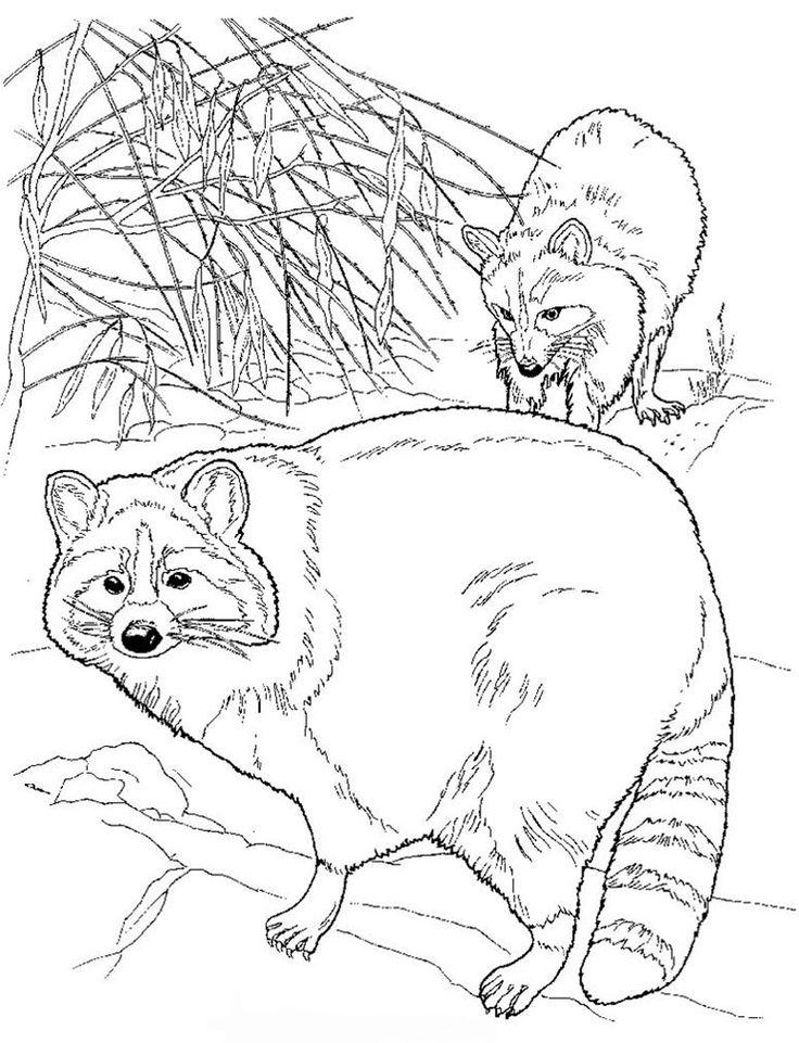 raccoon color page