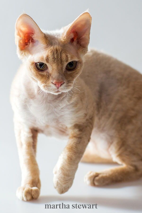 Due To Their Energy And Sleek Look The Cornish Rex Cat Is Often Referred To As The Greyhound Of The Cat World This Unusual Looking Breed