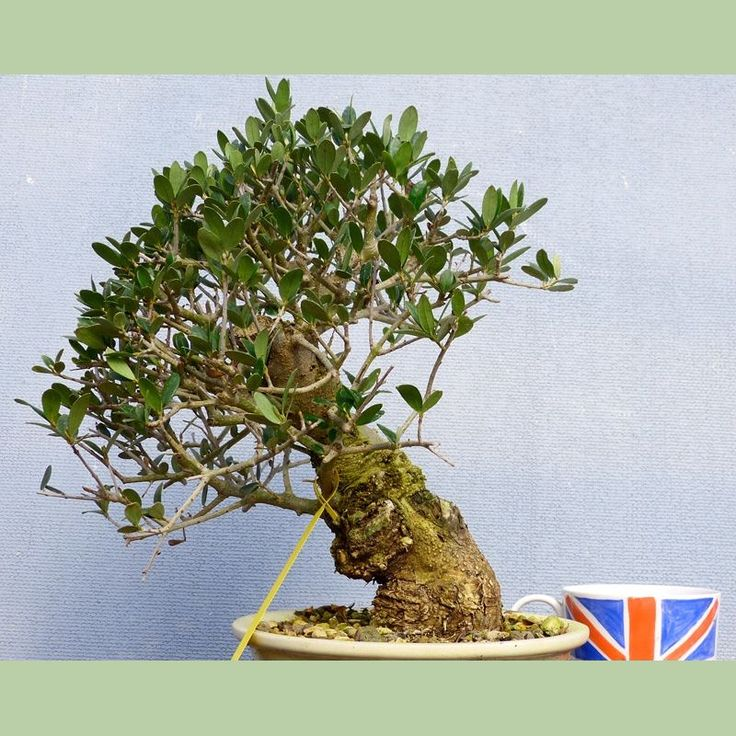 17 Best Images About Olive Bonsai On Pinterest Trees Bonsai Trees And Olives