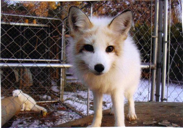 888 best kitsune images on pinterest kitsune mask foxes. Black Bedroom Furniture Sets. Home Design Ideas