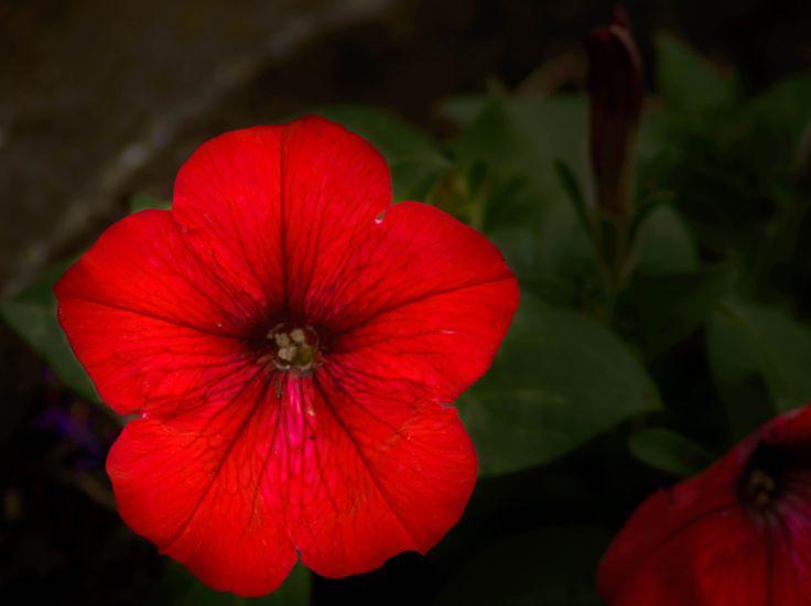 Blood petals - null