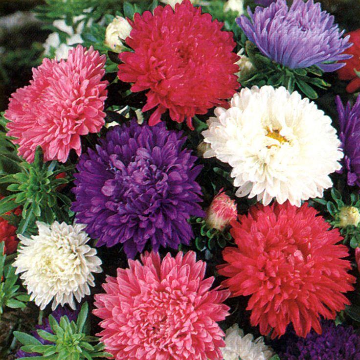 Sommaraster | Ettåriga blomsterväxter | Callistephus chinensis 'Amerikansk Busk' |