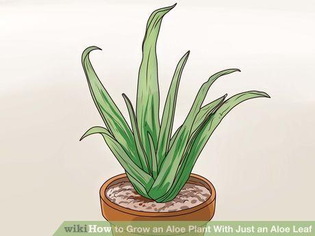 Best 20 growing aloe vera ideas on pinterest aloe vera aloa vera and aloe uses - Aloe vera plant care tips beginners guide ...