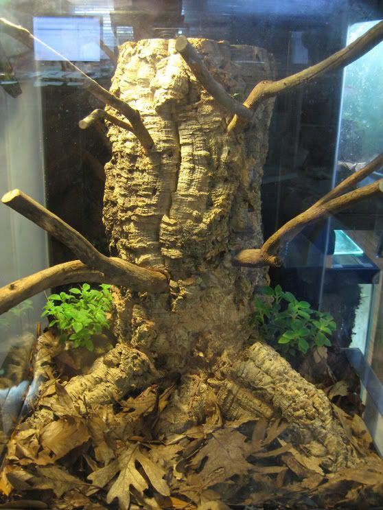 Lygodactylus williamsi vivarium construction