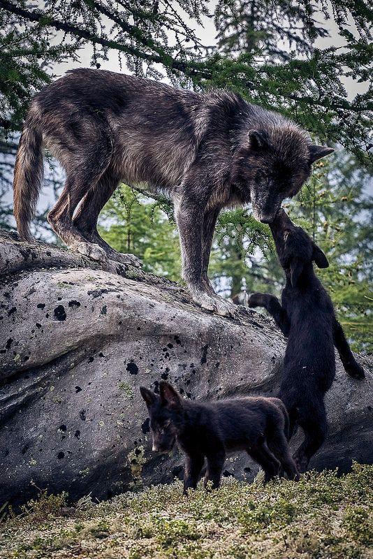 B O H E M I A N ☮ ❁ ғollow ↠ @ladyѕcorpιo101 ↞ on pιnтereѕт & ιnѕтagraм ғor мore ιnѕpιraтιon ☪ ☆ wolves with their babies :)