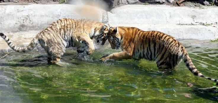 Junio 22 de 2012 - Los tigres mellizos en el zoológico de Magdeburg (Alemenia) juegan en una piscina. Los cachorros Danuta y Daria nacieron el 20 de septiembre del año pasado. (AFP/VANGUARDIA LIBERAL)