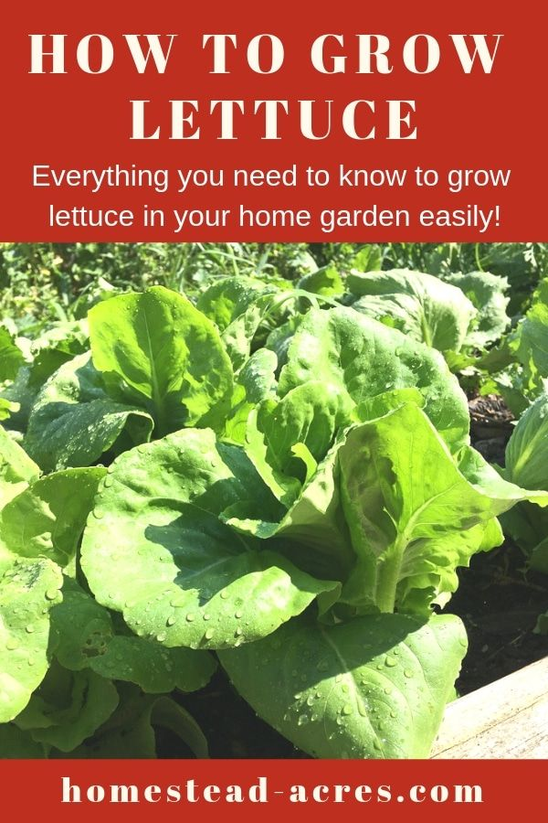 How To Grow Lettuce At Home Growing Lettuce Home Vegetable