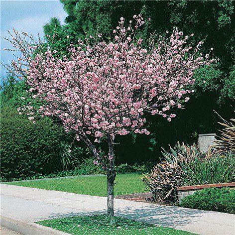 Rosenmandel 100-120 cm - Prydnadsträd - Växter - Bygghemma.se