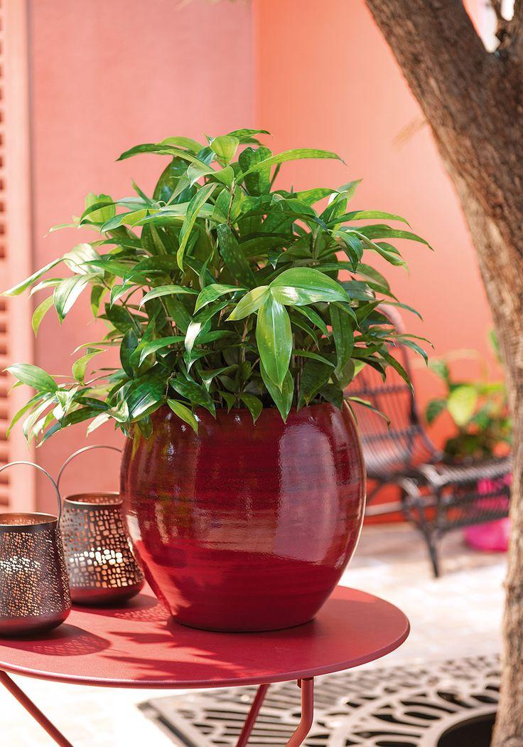 1000 idées sur le thème Dracaena Plant sur Pinterest  Plantes ...