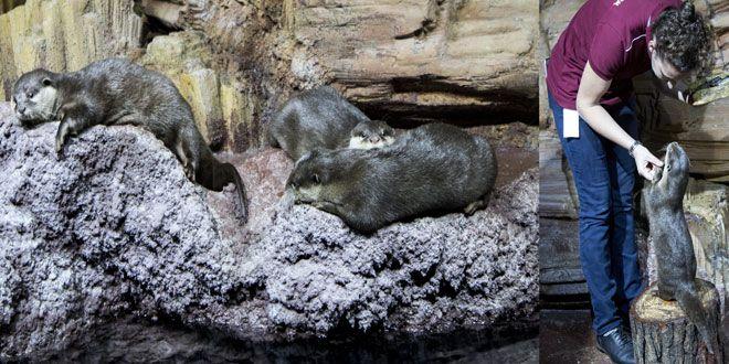 Emaar Akvaryum ve Sualtı Hayvanat Bahçesi ziyaretçileri ile birlikte 31 Mayıs-4 Haziran tarihleri arasında Dünya Su Samurları Günü'nü kutluyor. Akvaryuma gelen ziyaretçiler su samurları hakkında ilginç bilgiler edinirken çocuklar aktiviteler ile eğlenecek. En akıllı ve eğlenceli su canlıları arasında olan su samurları konusunda dikkat çekmek ve günlük hayatımızda karşılaşmadığımız bu canlıları korumanın önemini anlatmak için, ...