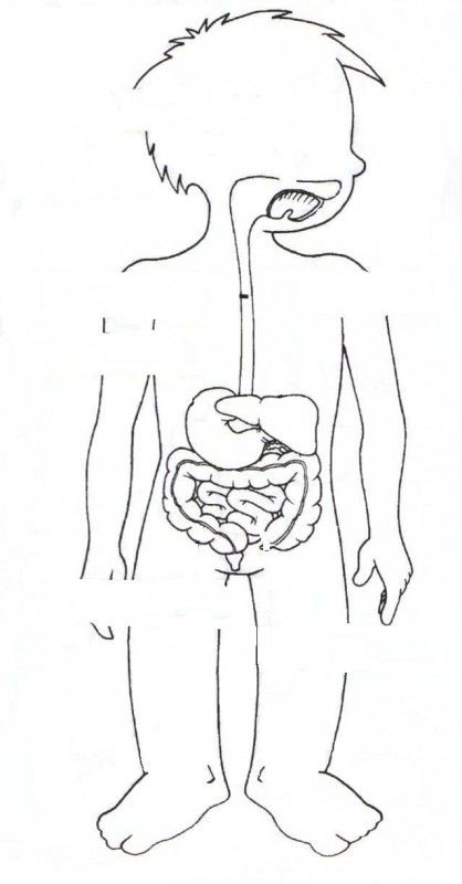 Dibujos del aparato digestivo para pintar - Imagui