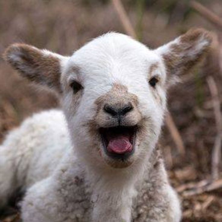 R Goats Images For > Cute B...