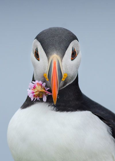 (Credit: Johan Siggesson/BirdLife South Africa Oceans of Life photo competition 2013 Highly commended  was Proposing Puffin by Johan Siggeson...