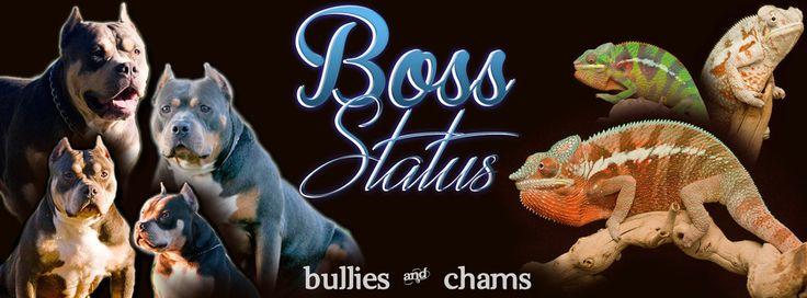 Boss Status Bullies - Tri Color American Bully and Pitbull Studs and Puppies - Boss Status Bullies and Chams - Tri Color American Bully and Panther Chams, Chameleons, Panther Chameleons for Sale, Chameleon Care