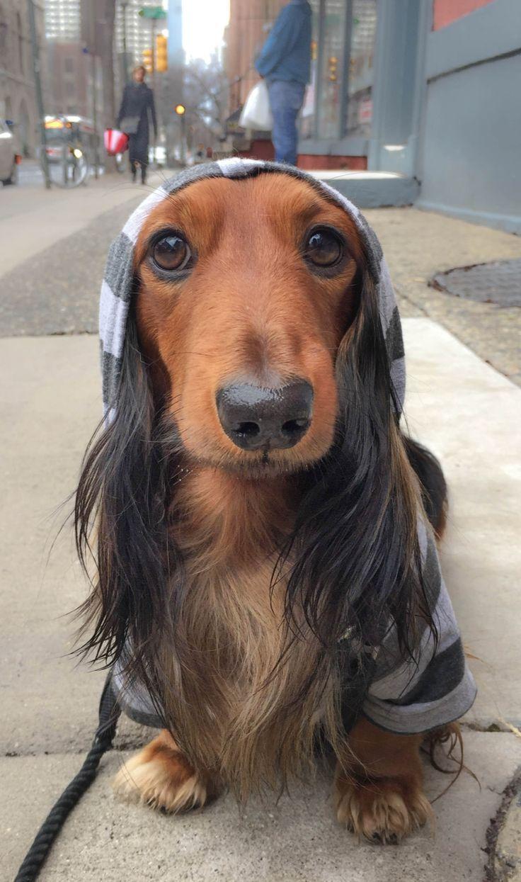 Djangothegent Is Wearing His Django Dog Hoodie In Heather Gray