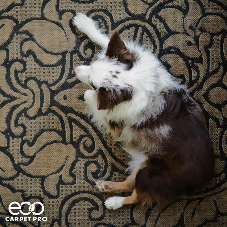 Sweet pups don't keep carpet looking sweet. Thankfully, there is Eco Carpet Pro!  Learn More: http://bit.ly/EcoCarpetPro