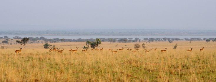 Murchison Falls National Park (Уганда). © Воронин Е. (http://shvarz.livejournal.com/). #Tree #Trees #Grass #Grasses #Uganda #Africa