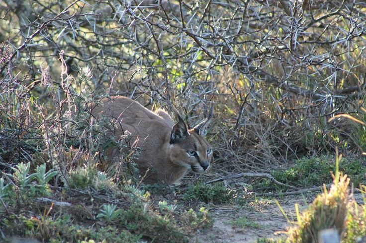 The charismatic Caracal, one of the lesser cat species present on the reserve and always an exciting spot!