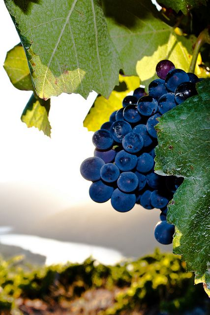 Some of the best wine comes from these grapes! D.O.Ribeira Sacra ,  Galicia  Spain