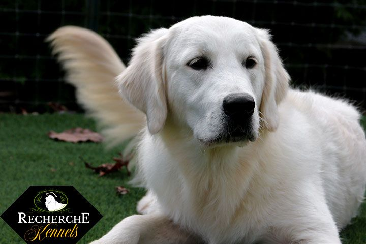 English Cream Golden Retriever Info Recherche Goldens Golden Retriever Golden Retriever Info Retriever