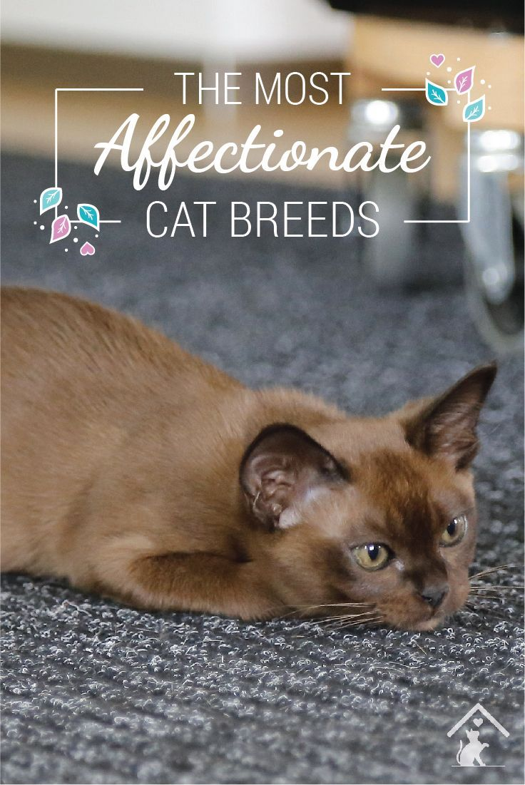 The Most Affectionate Cat Breeds in 2020 Cat breeds