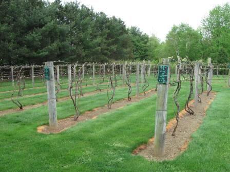 Cheap Grape Vines   Backyard vineyard, Grape trellis ...