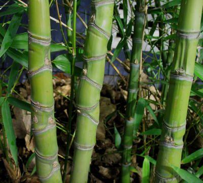 Phyllostachys aurea, Golden Bamboo, tall privacy screens