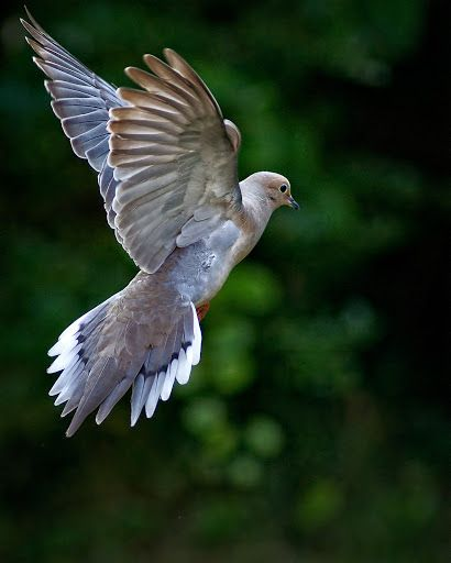 Pic of how I've seen these glorious Mourning Doves visiting our yard - here you do see the blues and grays - wow!