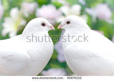 Pair of Pigeons. Symbol of love and peace  #Stockphoto - https://www.shutterstock.com/ru/image-photo/pair-pigeons-symbol-love-peace-95876152?src=2CTKQpQg6XSwTBHc1fYLsQ-8-48   #love #couple #webdesign #lovingcouple #summer #loving #kisses #Iloveyou #pigeons #wedding  #peace