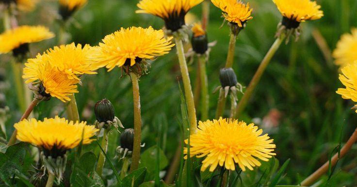 No siempre es necesario adquirir herbicidas comprados en la tienda para eliminar las malezas en tu jardín, tu camino de la entrada o tu lecho de flores. El vinagre y la sal son ...