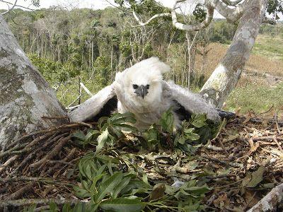 DIGITAL CAMERA ADVENTURES: June 2012Muchas aguilas ponen ramas nuevas en sus nidos, se cree que esta conducta es para repeler moscas y otros insectos molestos que pueden ser atraidos por el olor a carne fresca que resulta de la caza de estos animales
