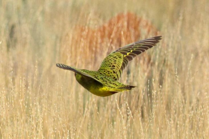 The WA discovery in March 2017 is the first confirmed sighting of a night parrot in Western Australia for nearly a century.