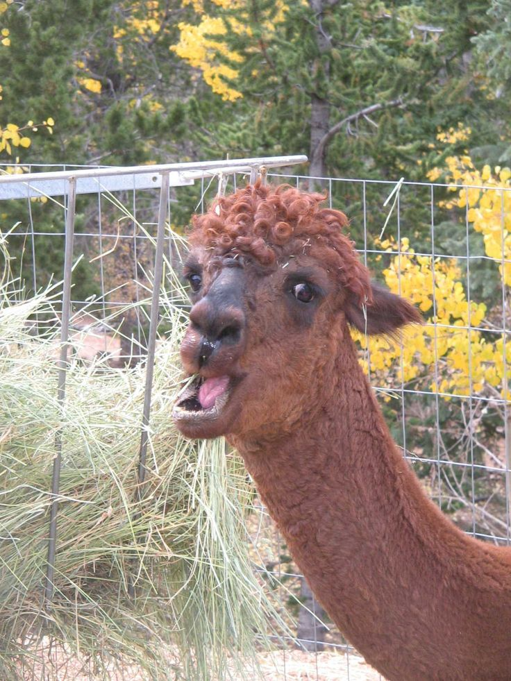 Best I REALLY LIKE LLAMAS AND ALPACAS Images On Pinterest - 22 hilarious alpaca hairstyles