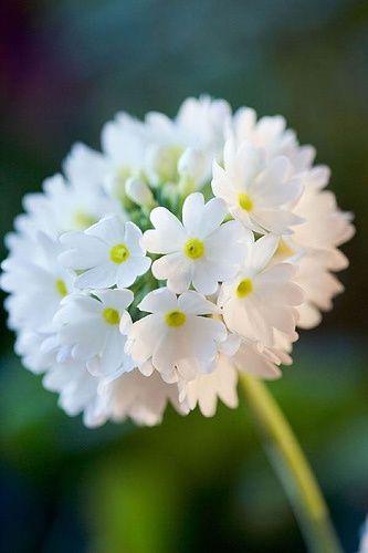 La primula dentculata es una flor sencilla y hermosa para usar en cualquier ocasión