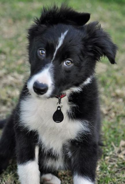 Border Collie Puppy Getting Wind Blown.