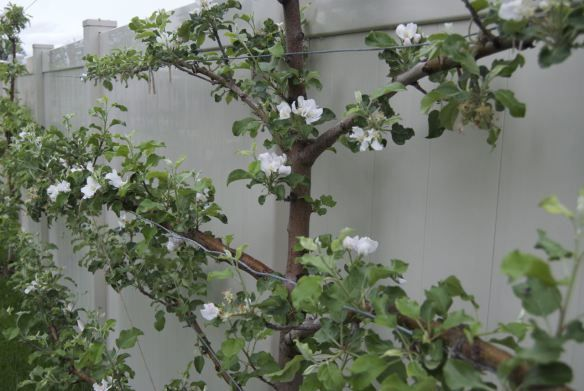 Manipulating apple tree branches